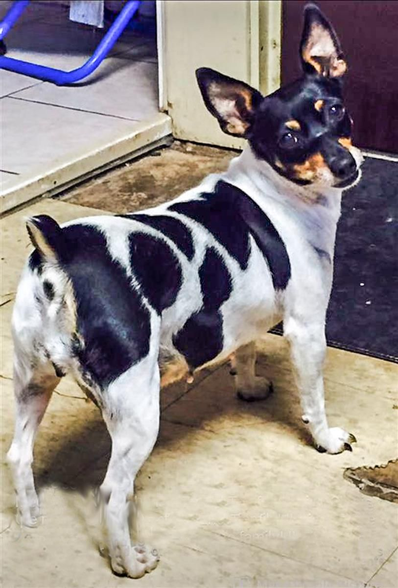 Lost Dog Toy Fox Terrier East Akron, OH, United States