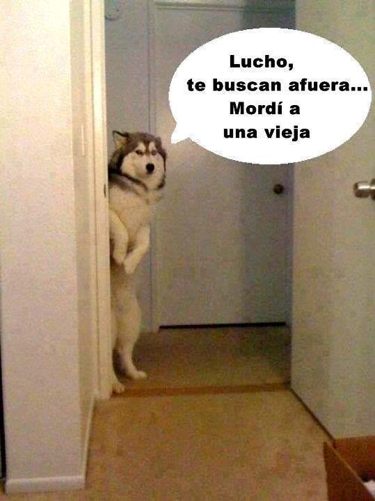 Lucho Perros Memes Y Mascotas Full Imagenes Dog Crafts Little Dogs Humor