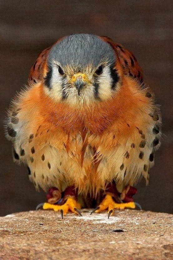 baby falcon animals pinterest vogel tier und kleine. Black Bedroom Furniture Sets. Home Design Ideas