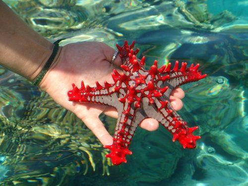 Tropical Starfish