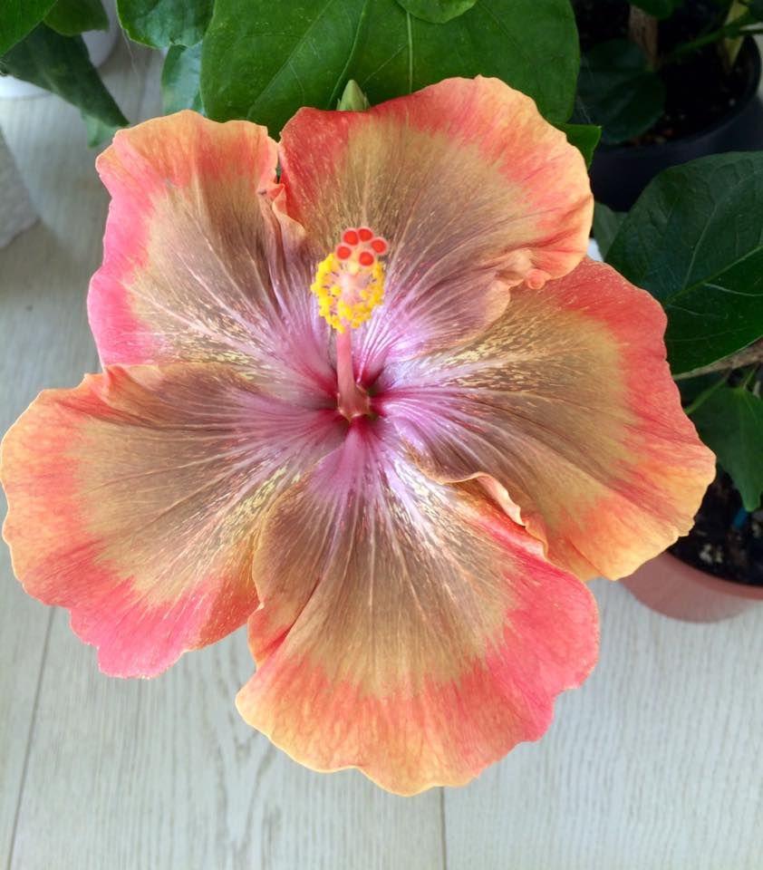 Hibiscus moorea sugar lady hibiscus tropical and hardy hibiscus moorea sugar izmirmasajfo Gallery