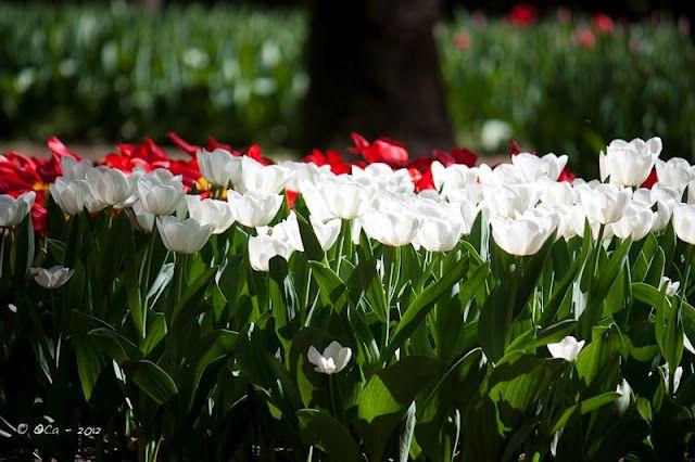 Italian tulips
