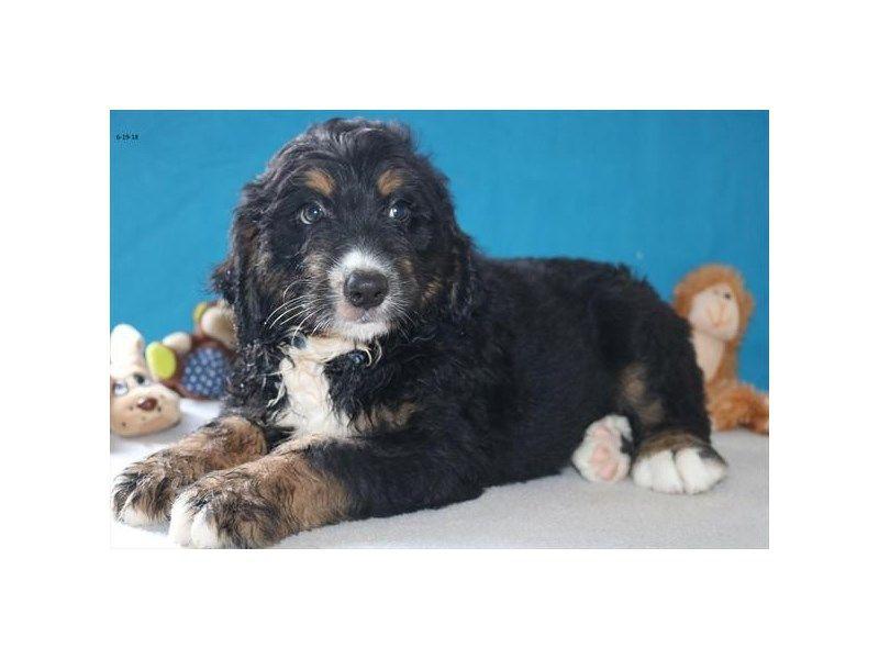 Bernadoodle Dog Black Tan White Id 2351479 Located At Petland Lewis Center Bernadoodle Puppy Bernadoodle Dog Id