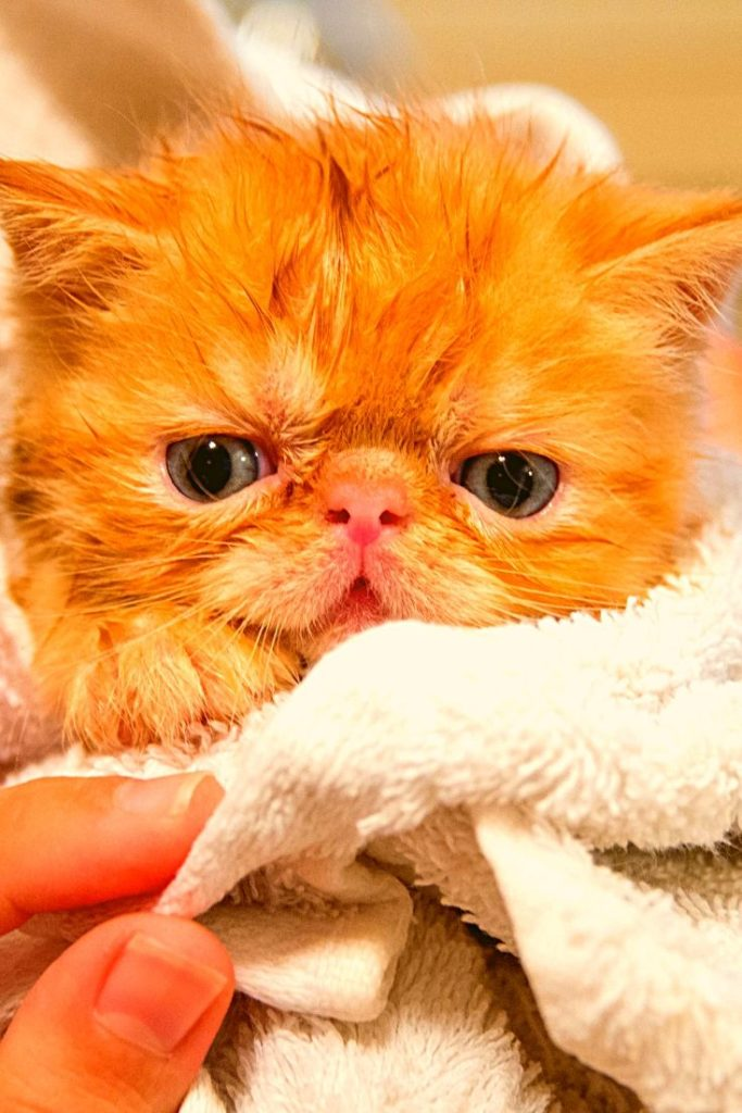 How To Give Cat A Bath? Can You Give A Cat A Bath Cats