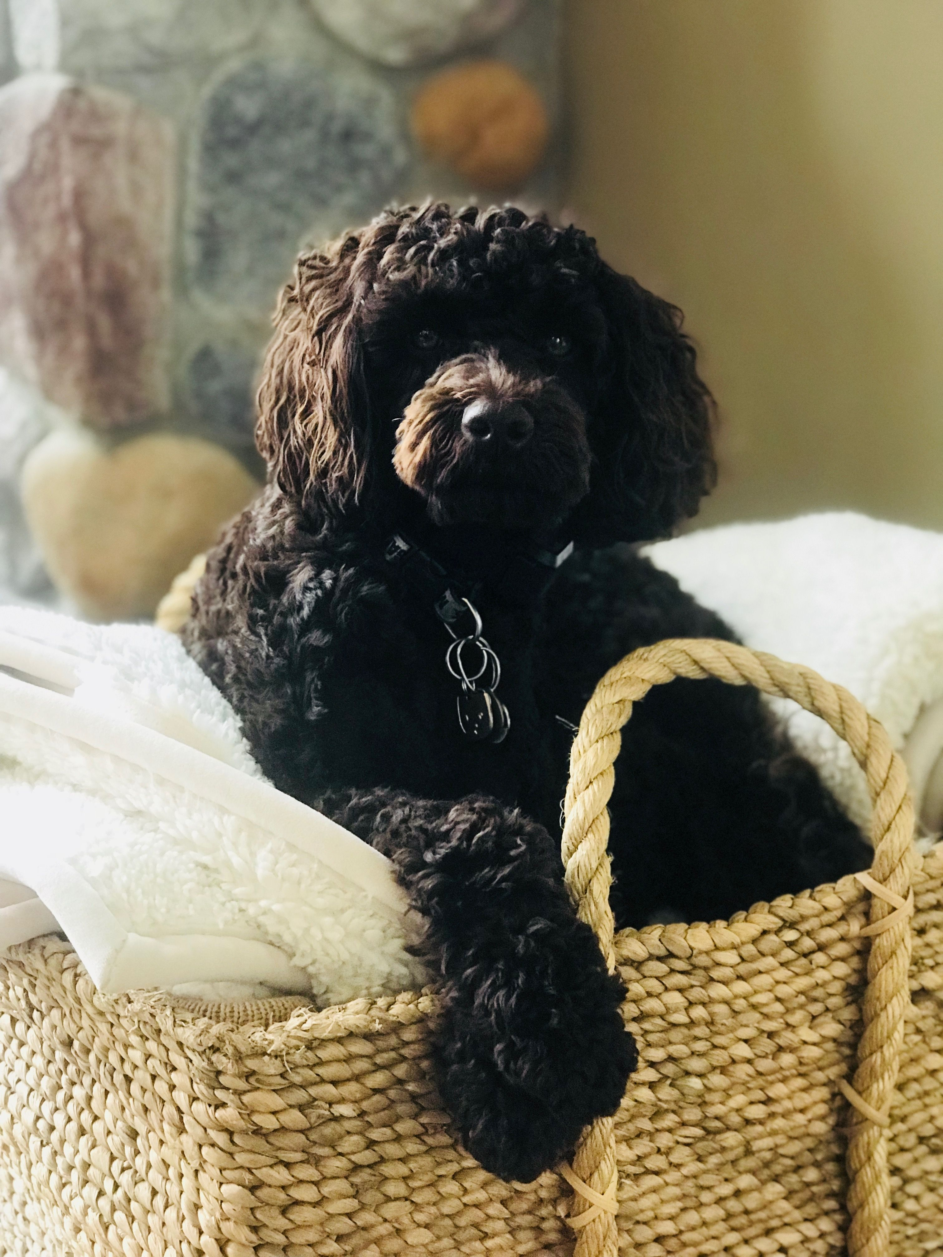 Pin By Joellen Donay On Boomer The Labradoodle