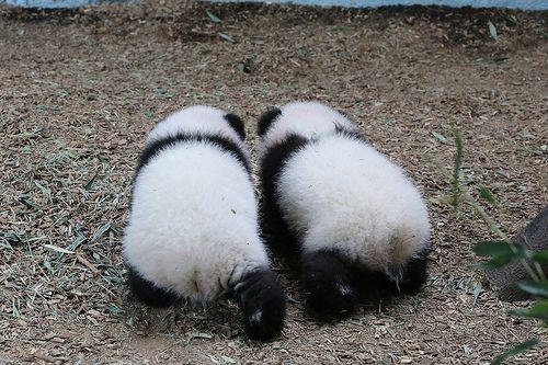 That's all Folks!   Mei Lun and Mei Huan - 11/27/13   smileybears   Flickr
