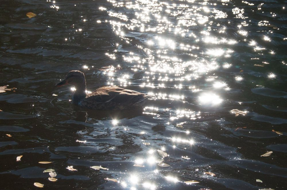 Duck in the sparkling water