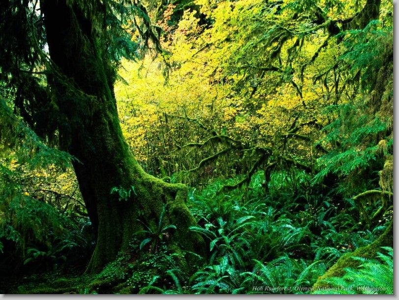 Hoh Rainforest, Olympic National Park, Washington.