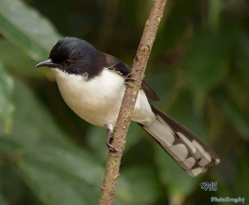 The Dark-backed Sibia (Heterophasia melanoleuca) is a bird species in the family Leiothrichidae. In former times it was included the Black-headed Sibia, H. desgodinsi. Together with most other sibias, it is sometimes separated in the genus Malacias. It is found in China, Myanmar and Thailand./ By Vijay Sachan