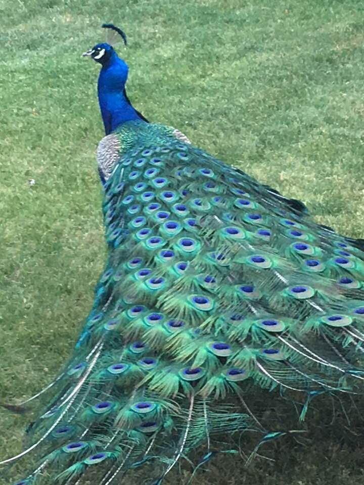 Most Beautiful Peacock In The World 49957 Loadtve