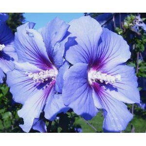 Blue Birdrose Of Sharonhardy Hibiscus3 Seeds Strange