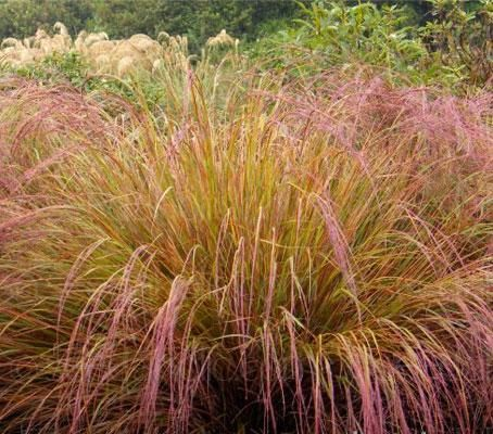 Anemanthele lessoniana 39 pheasant s tail grass 39 this for Hardy grasses for the garden