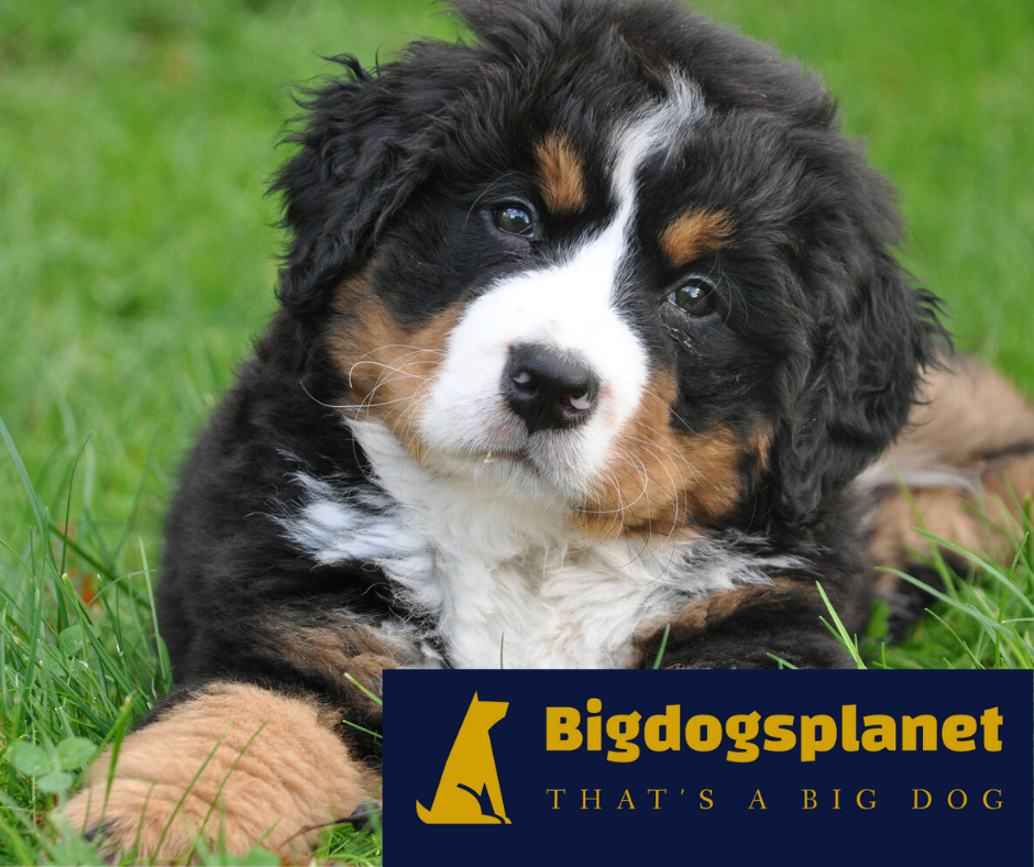 Why Should A Large Breed Dog Need Puppy Training With Images