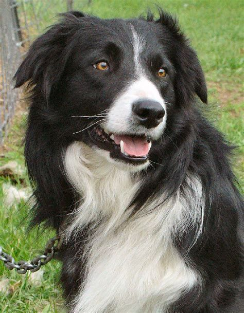 Pin By Bonnie Fink On Border Collie Border Collie Dog Collie Dog Collie