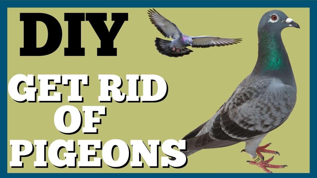 d515b6d27c9db54790363f7bc175b306 - How To Get Rid Of Pigeons In My Barn