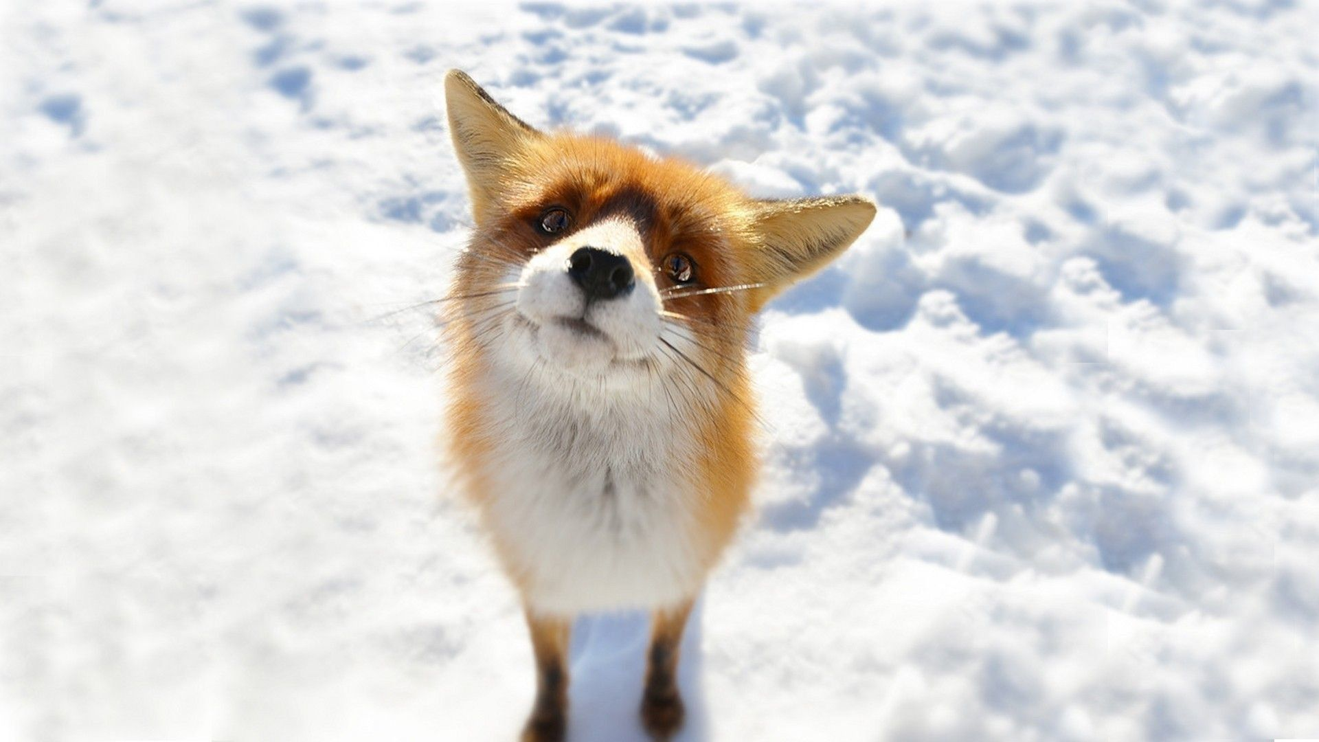 Cute Winter Animal Wallpaper 1920x1080 For Windows 10 Cute Animals Pet Fox Cute Baby Animals