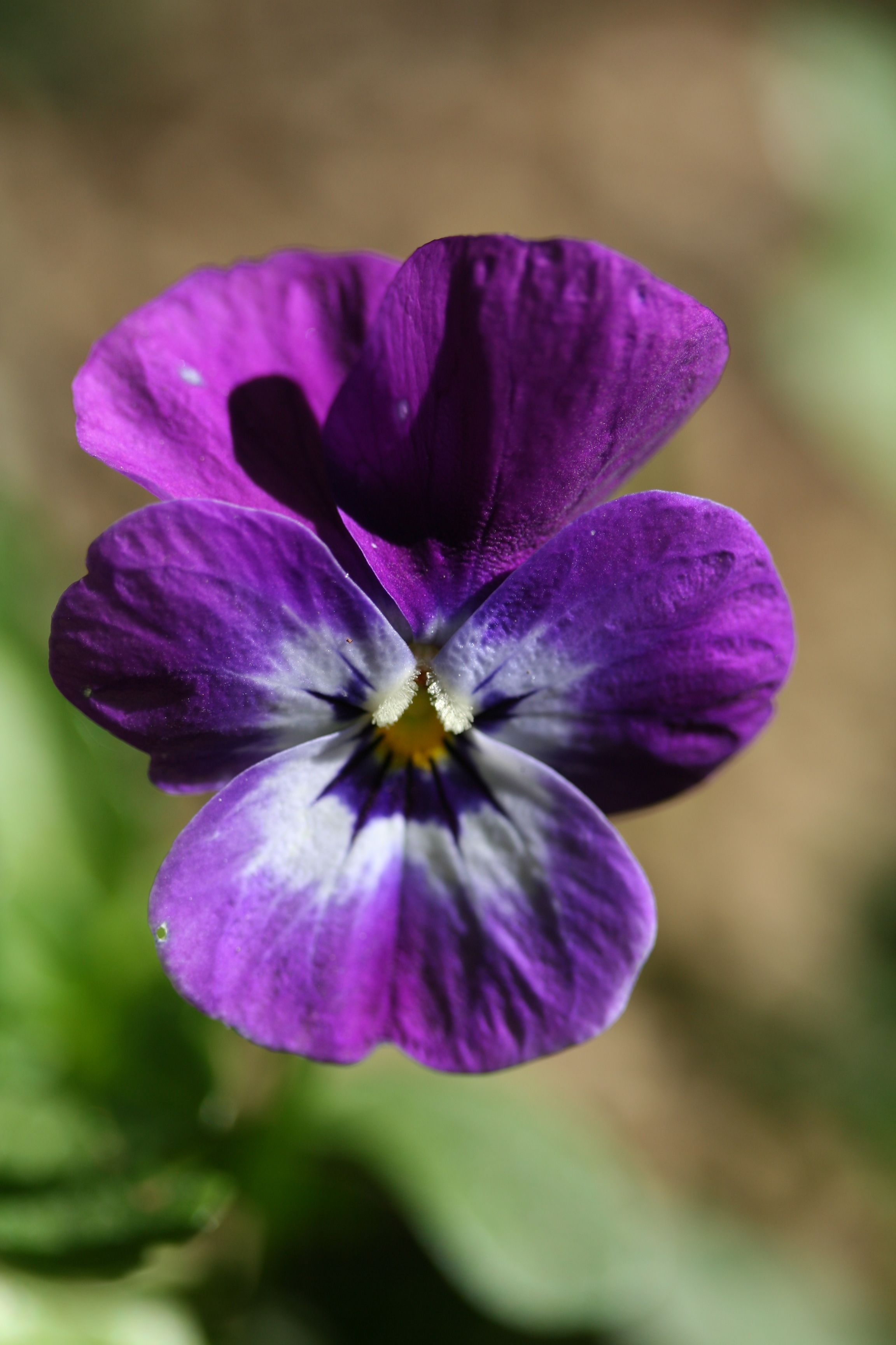 Description Pansy Purple Flower Jpg Pansies Flowers Types Of Purple Flowers Purple Flowers