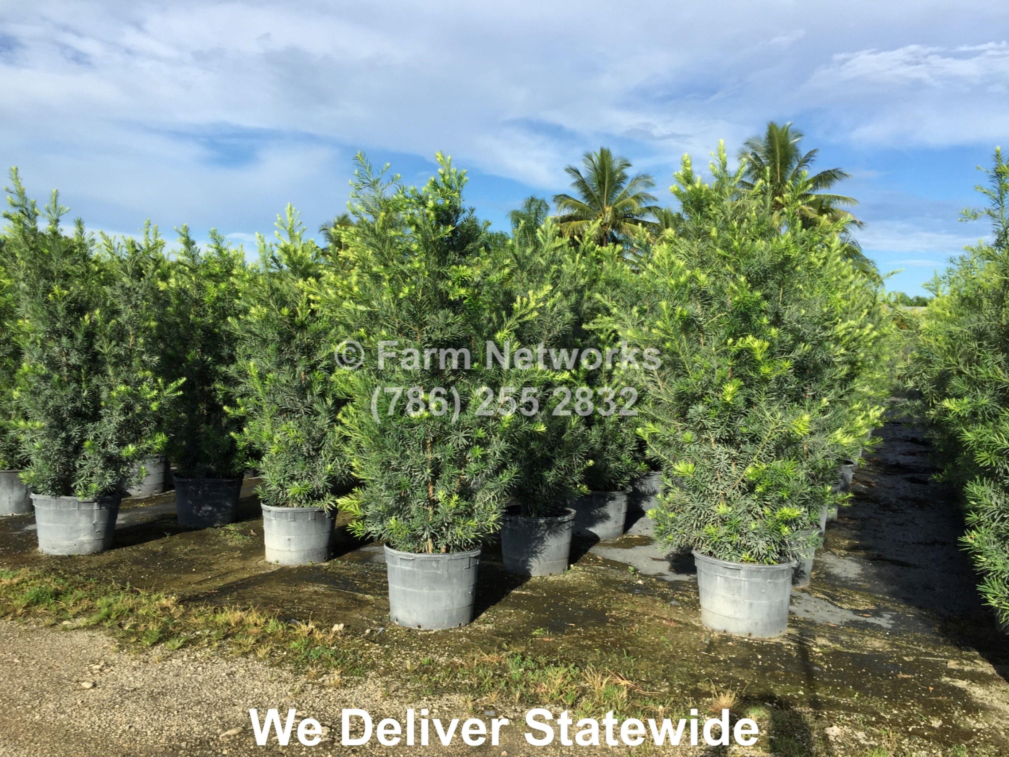 25 Gallon Podocarpus Hedge Broward Delray Beach Plant Nursery