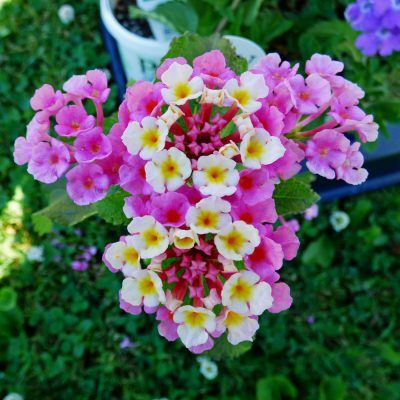 Varieties Of Lantana Learn About Lantana Plants For The Garden Lantana Plant Lantana Lantana Flower