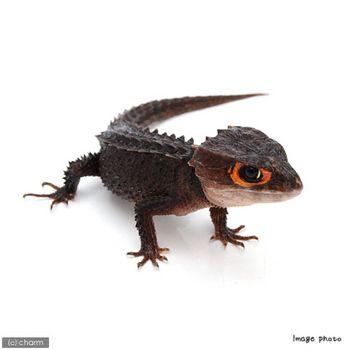 爬虫類も入荷してますよ チャーム両生類 爬虫類ブログ トカゲ トカゲ かわいい 爬虫類