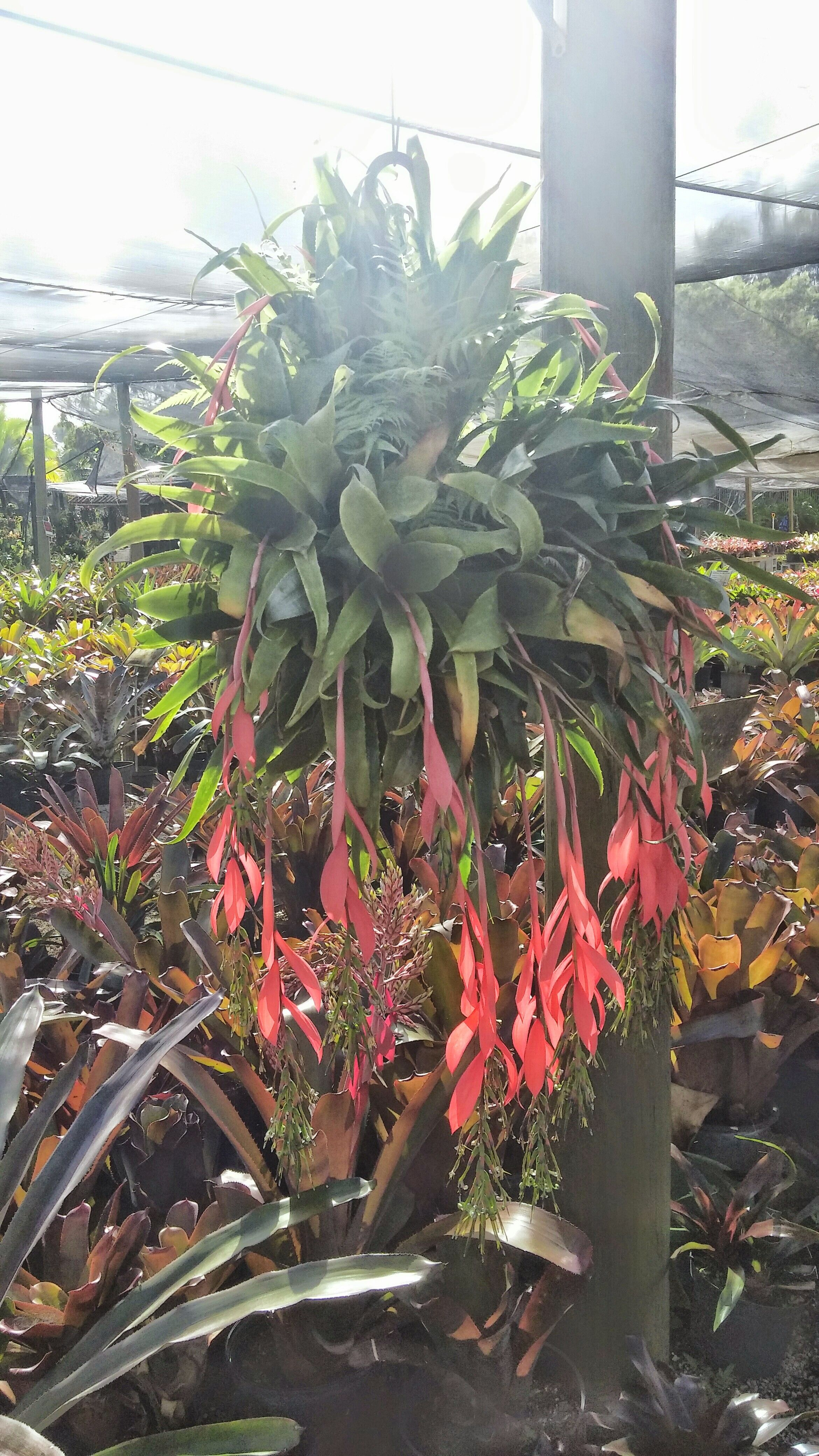 Special Billbergia Nutans Tears This Arrangement Is Hanging An Ocean Bromeliads Billbergia Nutans Tears This Plantsofsouthwest Plants Southwest Tucson houzz-03 Plants Of The Southwest