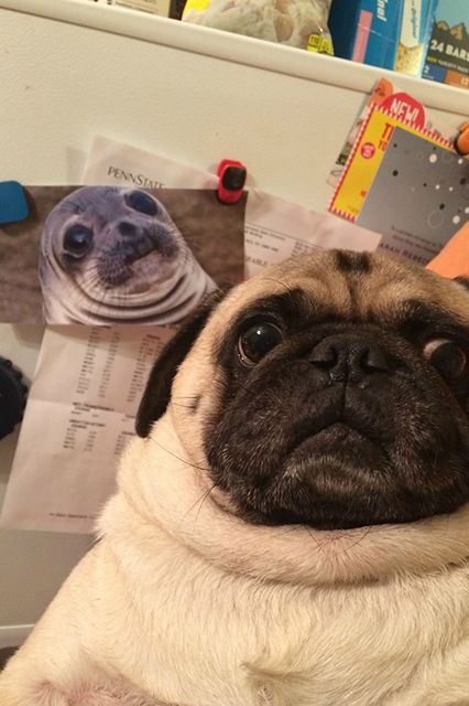 9 Pug Photobombs Guaranteed To Put A Smile On Your Face Pugs