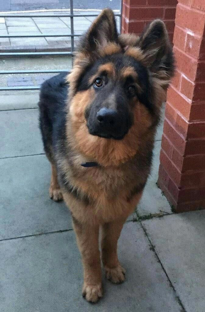 Exceptional German Shepherd Info Is Available On Our Internet Site