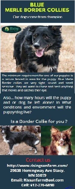 Pin On Blue Merle Border Collies