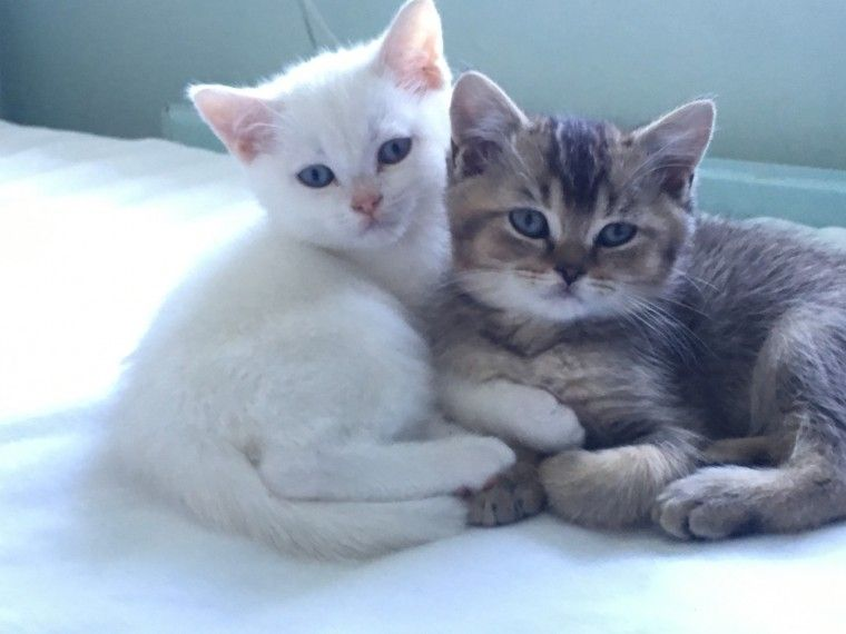 Cream Silver Tipped British Shorthair Farnham Surrey Pets4homes British Shorthair Colorful Coat Kittens