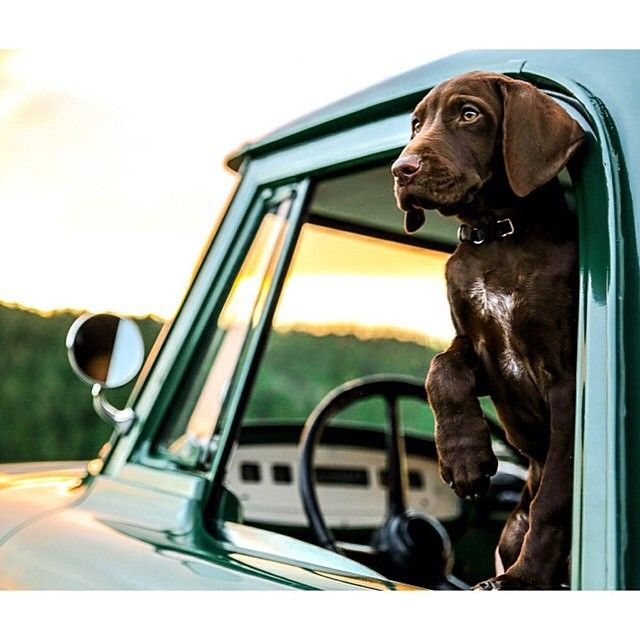 Birddogoftheday S Photo On Instagram Dogs German Shorthaired