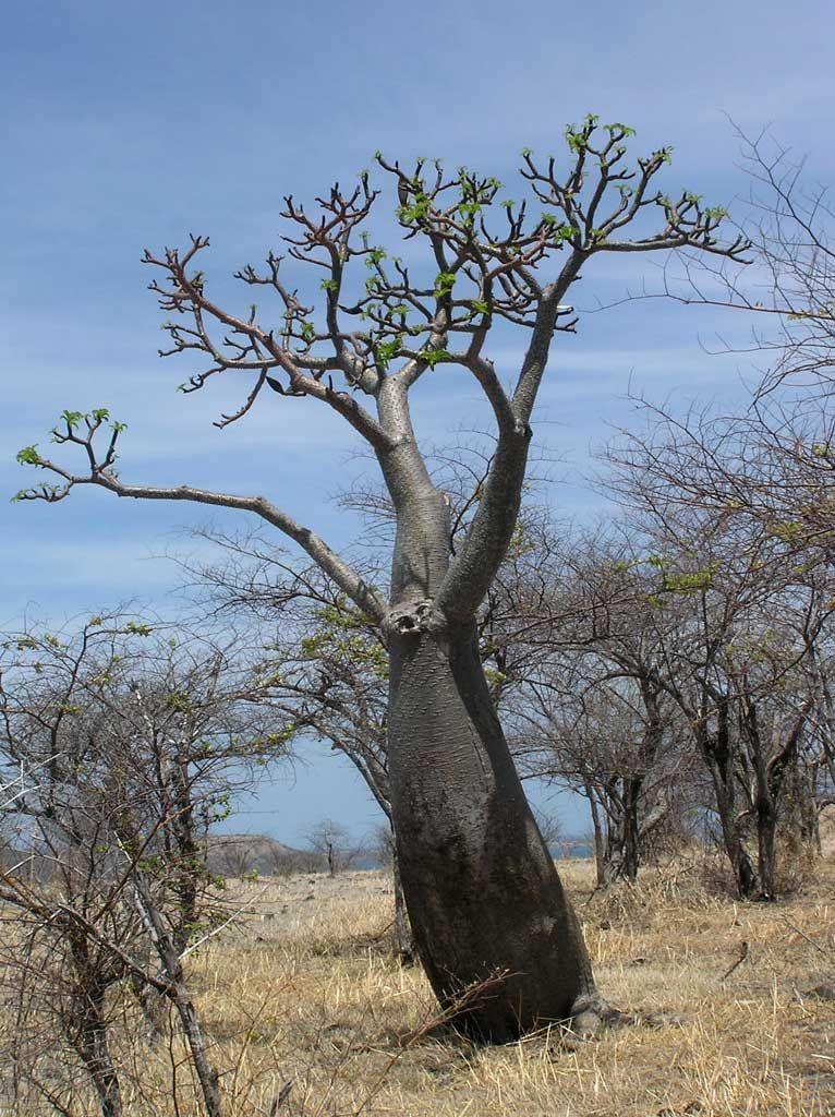 Pachypodium rutenbergianum var rutenbergianum