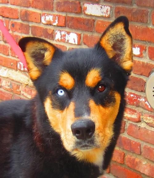 Adopt Mason On Rottweiler Mix Rottweiler Dog Australian Cattle Dog Blue Heeler