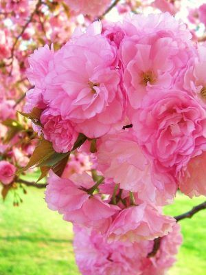 Kousa Dogwood Flowering Trees Cherry Tree Flowering Cherry Tree