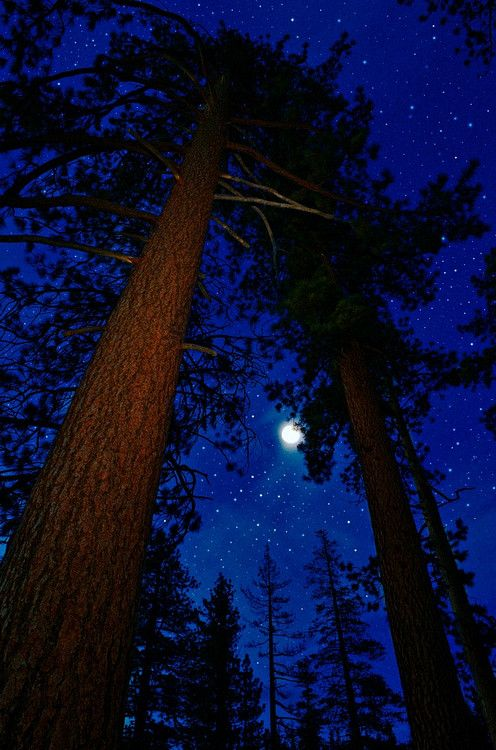 Ponderosa pine, Pinus ponderosa under night skies; Lake Tahoe, California, U.S.A.