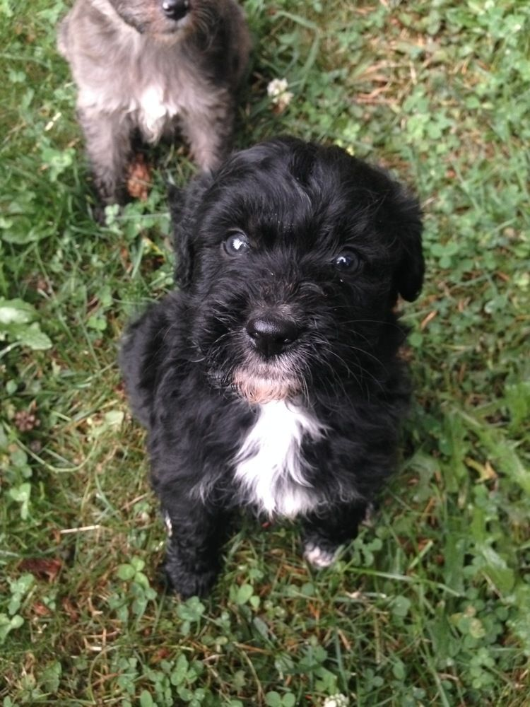 Black Aussiedoodle Puppy 3 Aussiedoodle Cute Animals Puppies