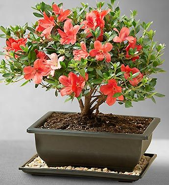 Azalea Bonsai From 1 800 Flowers Com Bonsai Azalea Bonsai Bonsai Tree