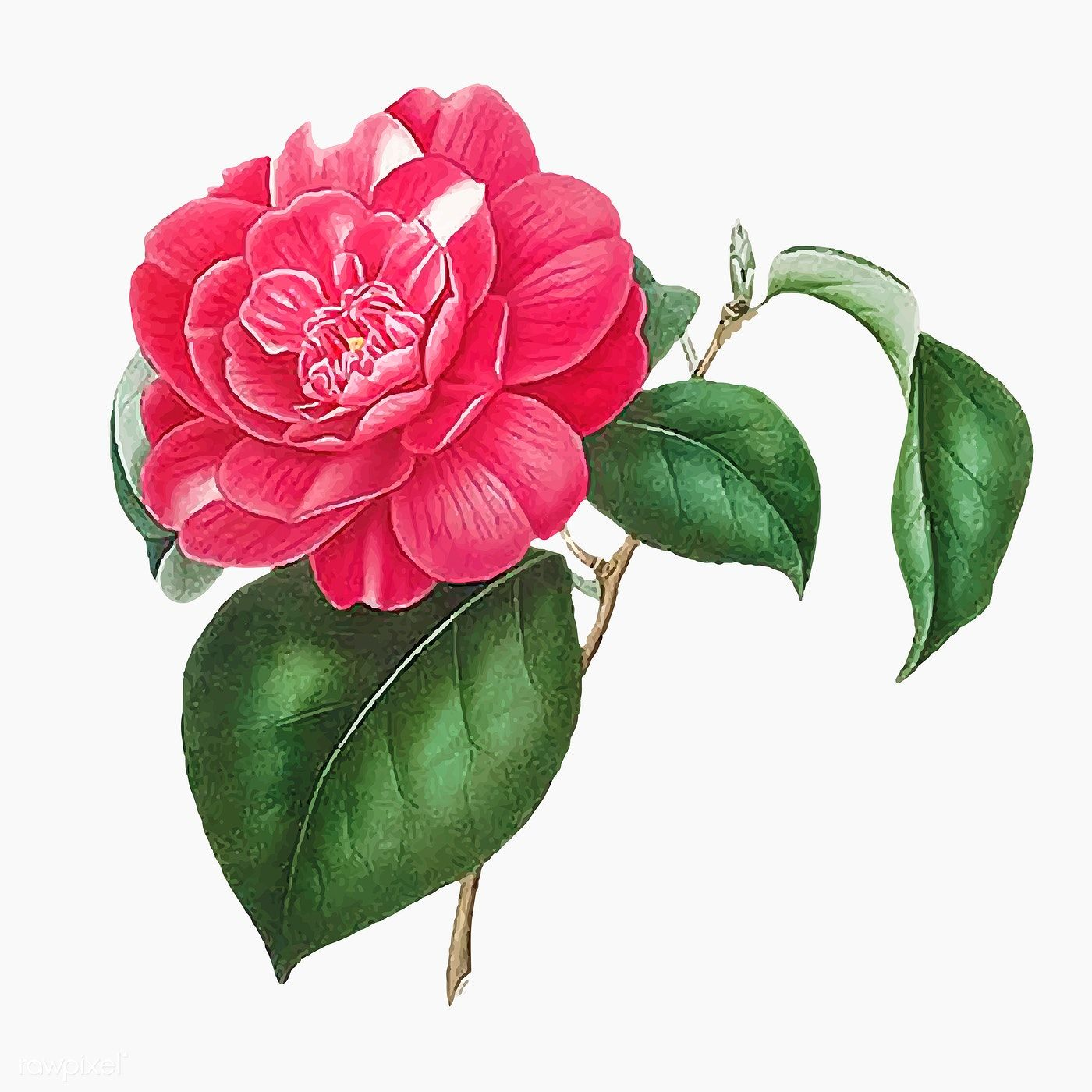 Pink Camellia Rose Flower Vector Premium Image By Rawpixel Com ในป 2020