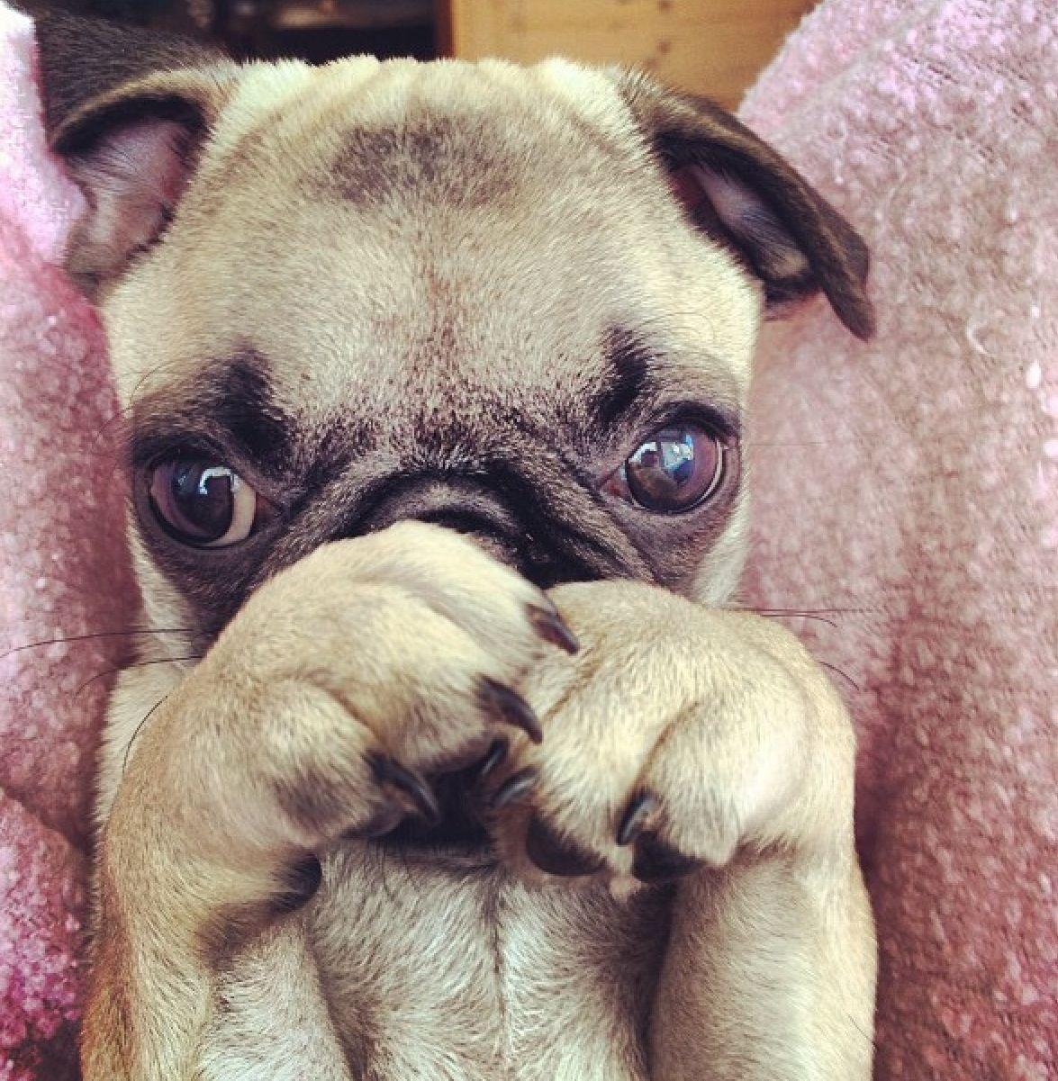 Mr Burns Pug Says Eeeeeexcellent So Cute Pugs Pug