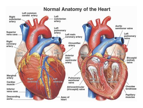 Normal Anatomy of the Human HeartBy Nucleus Medical | Nursing ...