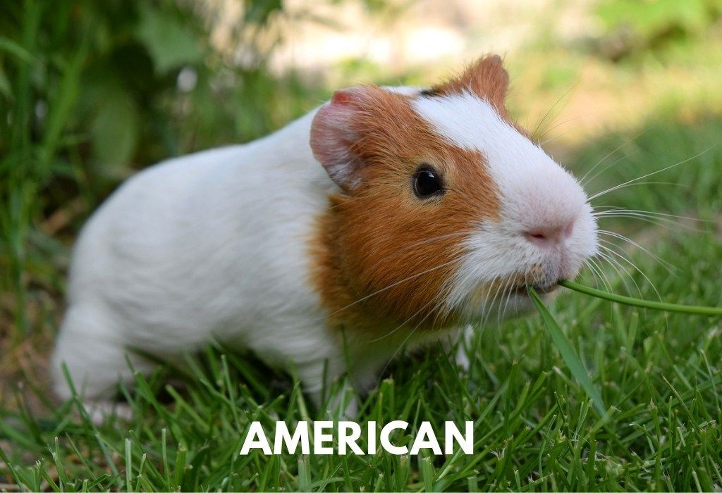 Pin On Guinea Pig Lovers