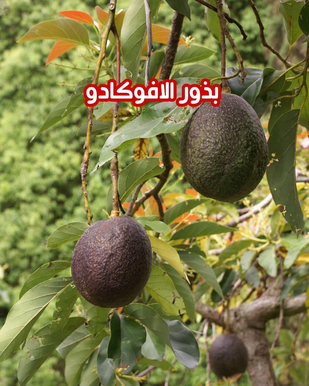 عرفت شجرة الأفوكادو منذ اكثر من 8000 سنة في المكسيك ومنها انتشرت زراعتها في جميع أنحاء العالم وخاصة في المناطق ذات المناخ ال Avocado Tree Fruit Trees Avocado