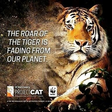 We Hate To See Them Disappear. @discoverychannel @wwf @oolaloooolaloo #projectcat #save #tigers #wild #life #good #cause #we #support #animal #catsofinstagram #adopt #donate #volunteer #charity #work #world #nature #beautiful #beauty #great #awesome #excellent_cats #dosomething