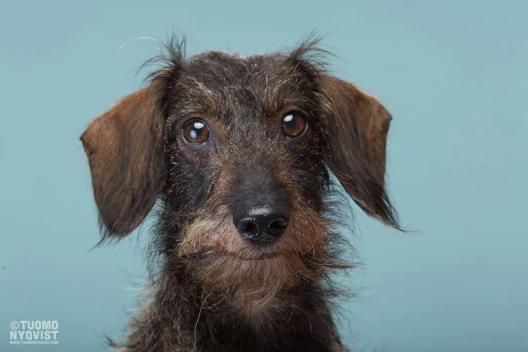 Dachshund Wirehaired | Dogs | Pinterest | Dachshunds, Dog and Daschund