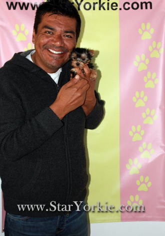 George Lopez And His Tiny Teacup Yorkie Puppy Teacup Yorkie Puppy Yorkie Teacup Yorkie