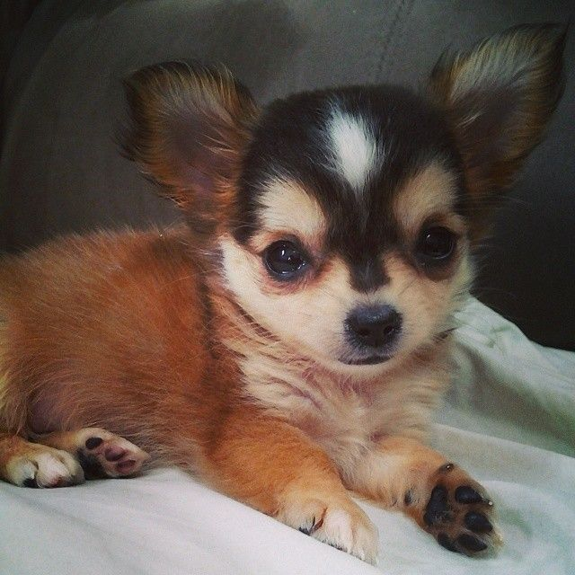 Cutest Puppy Ever Precious Beautiful Chihuahua Cute Dogs And