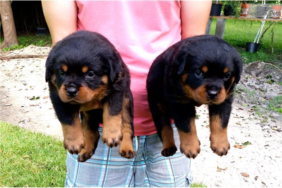 100 German Pedigree Puppies Rottweiler Puppies Rottweiler Puppies