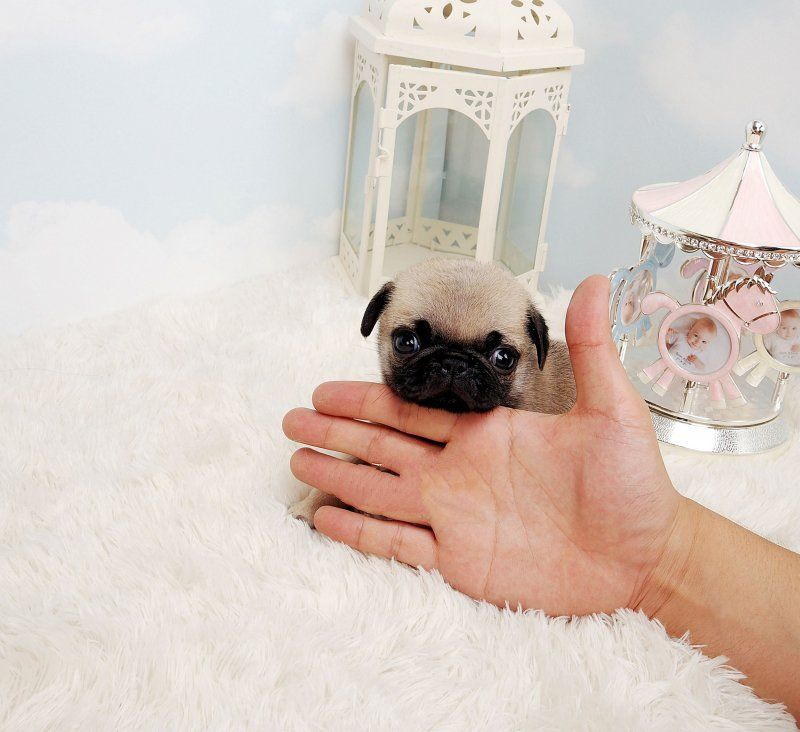 Max Micro Teacup Maltese Puppy Pugs Cat Adoption