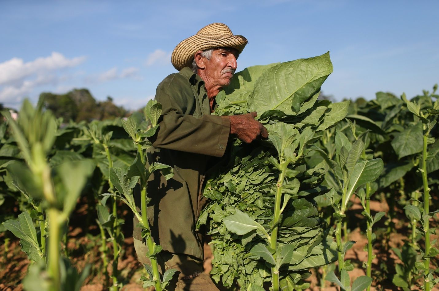 Lorenzo Rodriguez Hernandez harvests tobacco leaves for drying on a co-op plantation, Pinar del Rio, Vuelta Abajo, Cuba, 2015, photograph by Joe Raedle.
