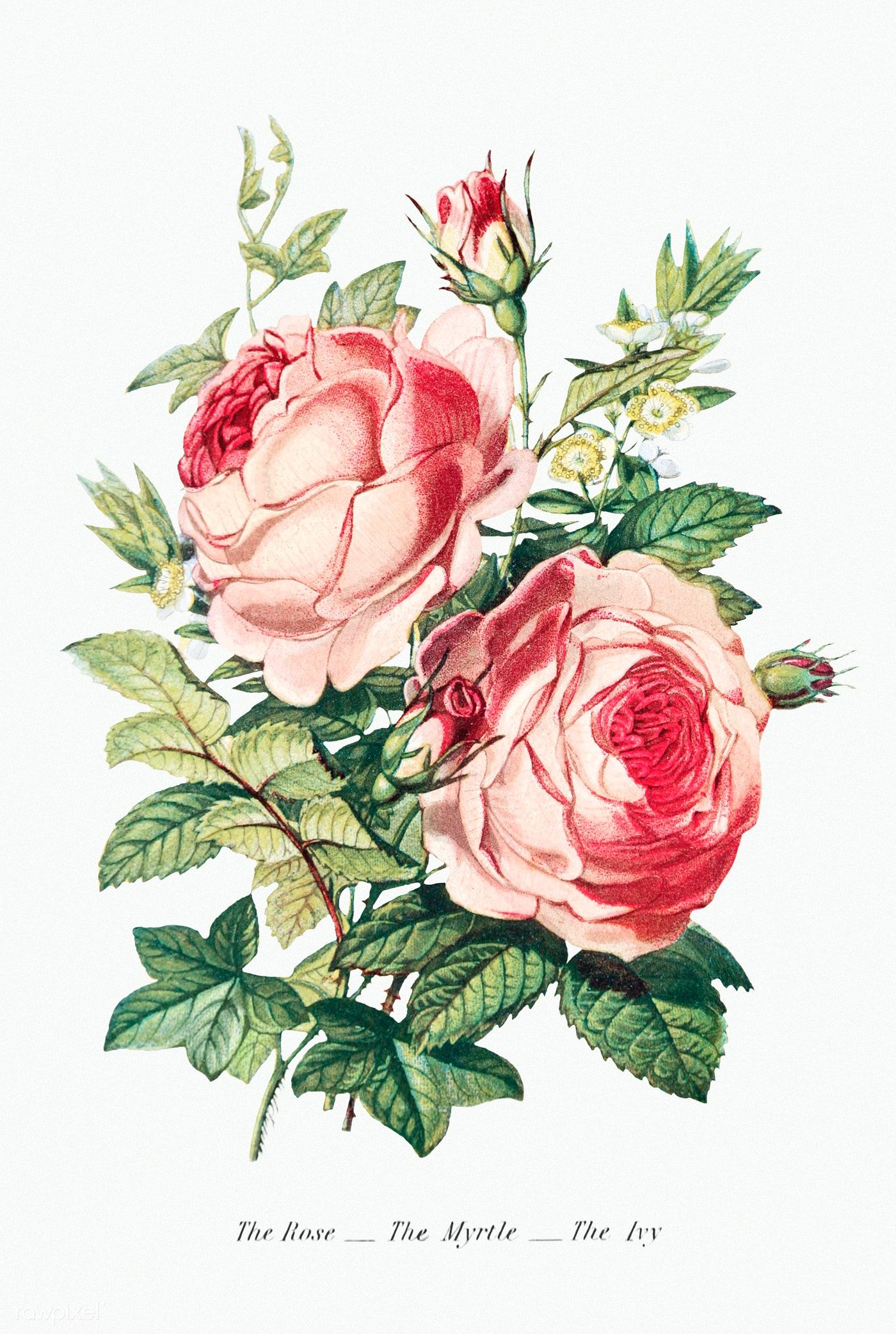 The Rose The Myrtle And The Ivy From The Language Of Flowers Or Floral Emblems Of Thoughts Feelings In 2020 Vintage Flowers Language Of Flowers Flower Illustration