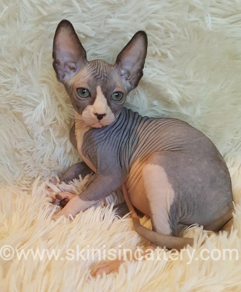 Pin By Amanda Kristin On Future Pets Hairless Cat Sphynx Cat Feline Hairless Cat
